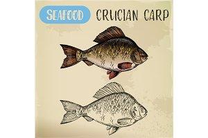 Crucian or common carp, river fish sketch