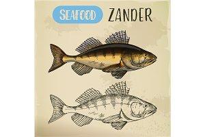 Zander or pike-perch sketch for menu