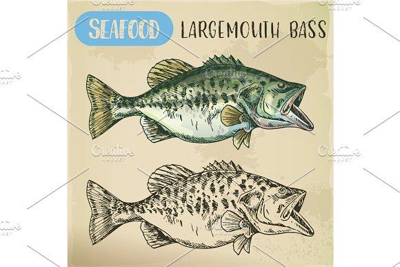Hand drawn largemouth bass or gamefish