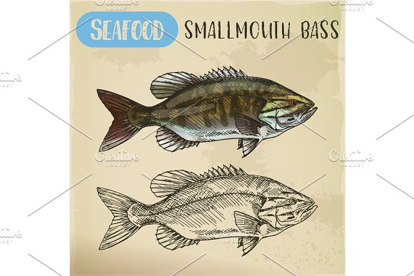 Sketch of smallmouth or brown, bronze bass