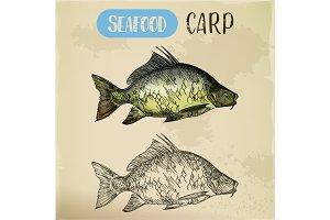 Sketch of common carp. River fish