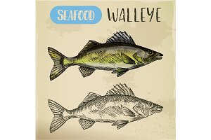 Sketch of walleye or perciform fish, pickerel