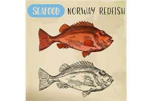 Norway redfish sketch for shop signboard