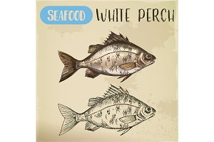Sketch of perch or european perca. Fish seafood