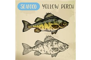 European yellow perch sketch. Fish, seafood