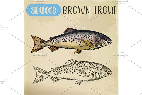 Brown or finnock trout sketch. Fish and seafood