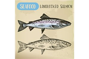 Atlantic or landlocked salmon sketch. Ouananiche