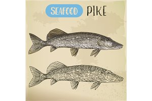 Northern pike sketch. Fish and seafood signboard