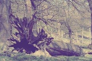 Giant fallen tree