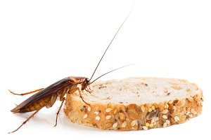 Cockroach on a slice of bread.