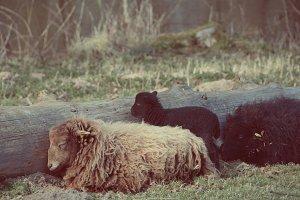 Group of sheep sleeping