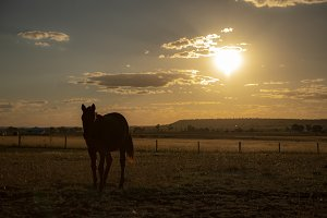 Australian horse