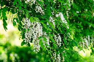 Flower Acacia Spring weather is white flowers on the tree