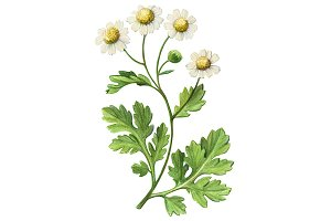 Feverfew Pencil Drawing Isolated