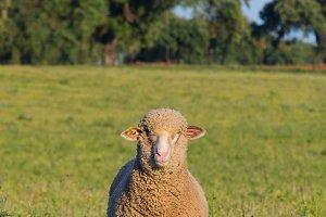 Merina sheep looking at camera