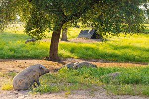 Iberian pigs in the meadow of Extrem