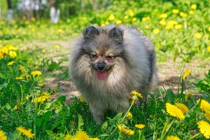 Small dog breed Pomeranian walks