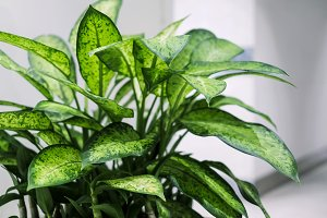 Dumb cane plant in the office buildi