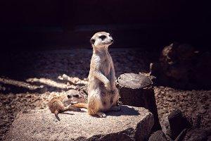 meerkat with her cub