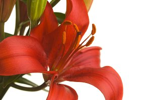 Beautiful Asiatic Lily on White