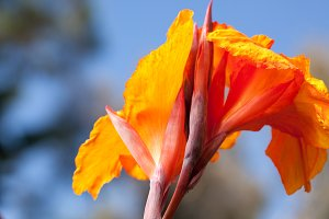 Radiant Canna Lily Blossom