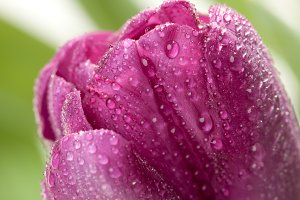 Macro of Purple Tulips with Dew