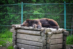 Brown bear sleeping on a wooden box
