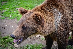 Brown bear shows the tongue