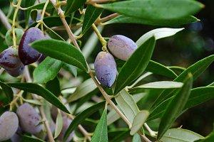Black olives on a tree