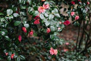 Rose bush II