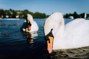 Couple of cute white grace swan on the Alster lake on a sunny day in Hamburg
