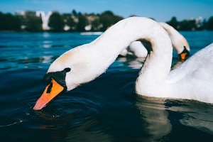 Close up of cute white grace swan on the Alster lake on a sunny day in Hamburg