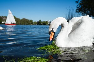 Beautiful cute white grace swan on the Alster lake on a sunny day. White pleasure sail boat in background. Hamburg, Germany
