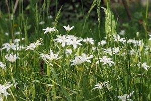 white star of Bethlehem flower
