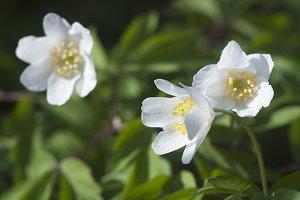 Wood anemone flowers, close up