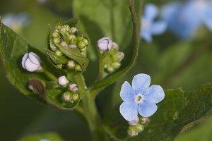 Brunnera sibirica plant