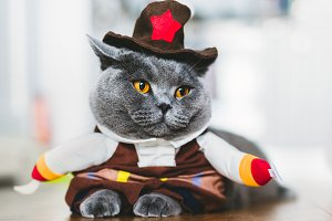 British shorthair cat wearing a funn