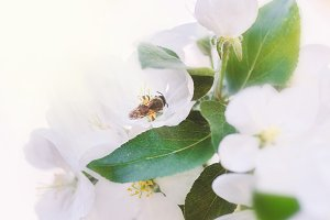 Bee on white tender apple blossom