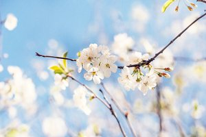 Cherry blossoms at sunny day
