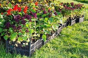 Boxes of flower seedlings