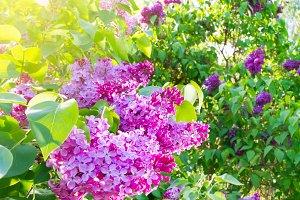 spring lilac in garden