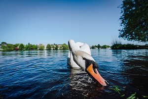 Curious white grace swan stretching his neck and head towards the camera. Alster lake on a sunny day in Hamburg