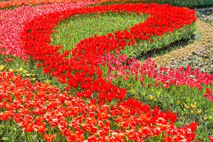 Flowerbed with beautiful tulips