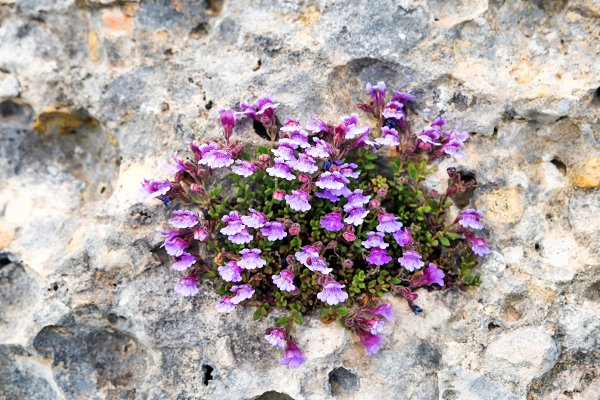 Violet flowers grow on rock