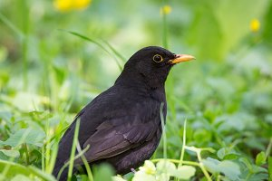 Turdus merula on the grass