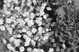 Carnation  Gypsophila  Black White