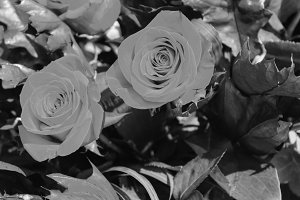 Roses Background in Black and White