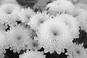 White Chrysanthemum in Black White