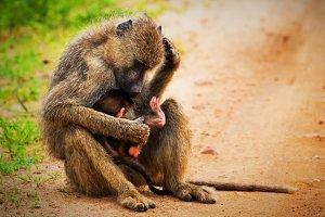 Baboon monkeys - a parent & a baby