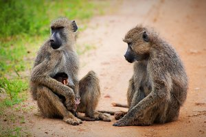Baboon monkeys - parents & baby